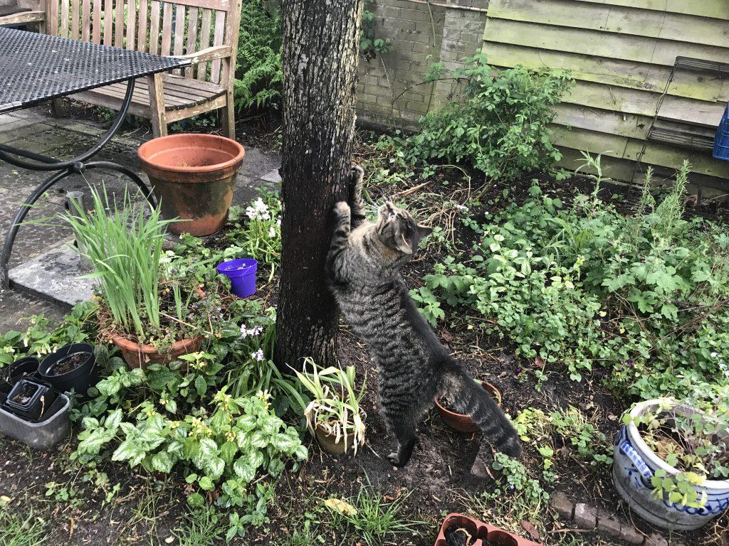 Tibbe gebruikt de boom als krabpaal