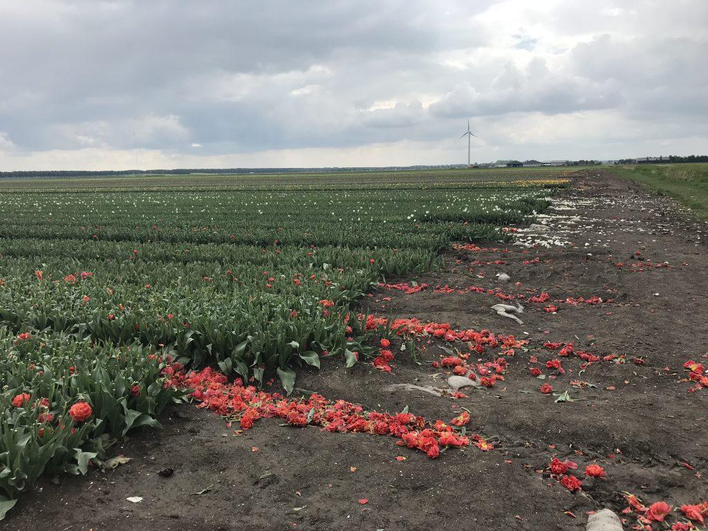 gekopte tulpen